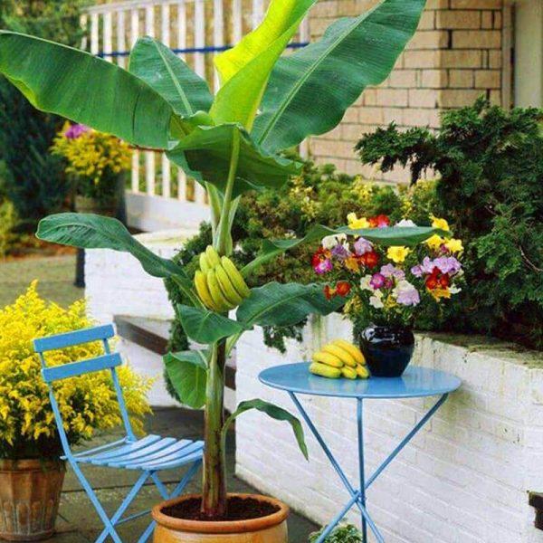 Bananier nain cavendish