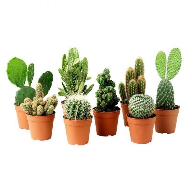 Cactus exotiques