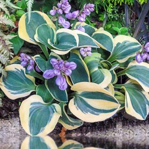 Hosta Mighty Mouse