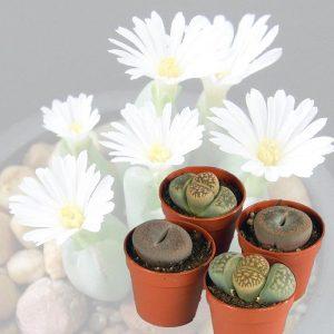 Plante cailloux-lithops