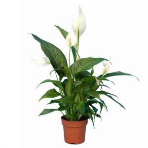 Spathiphyllum Lis de paix