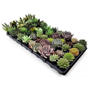 succulentes assorties