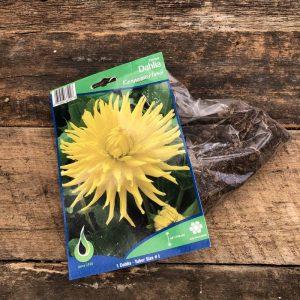 dahlia kennemerland bulbe