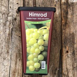 Raisin Seedless Himrod