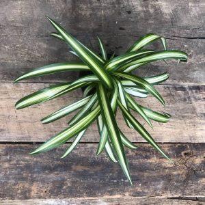 Chlorophytum vert/blanc