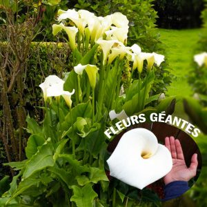 calla White Giant