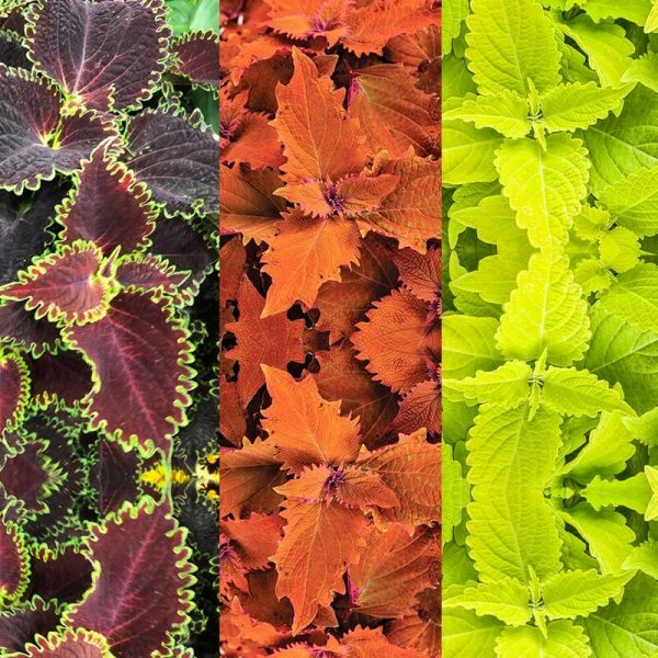 coleus Color Blaze