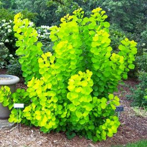 cotinus winecraft gold
