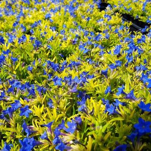 lithodora gold sapphires
