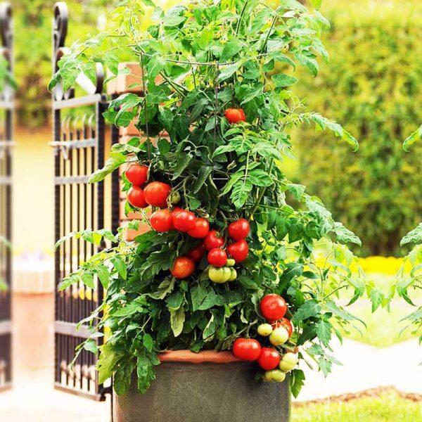 tomate 2 gallon