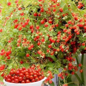 tomate bonbon
