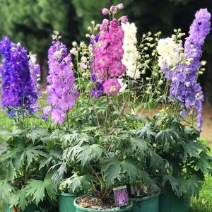 delphinium magic