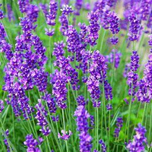 lavande essence purple