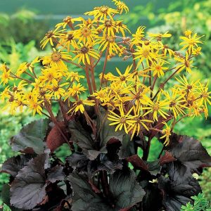 ligularia othello