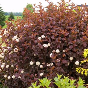 physocarpus tiny wine