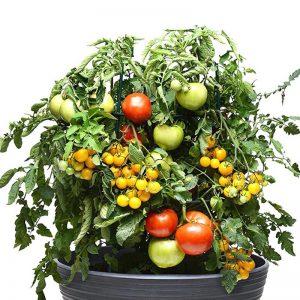 tomate trio