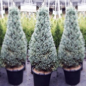 juniperus moffat blue