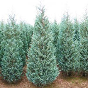 juniperus bleu