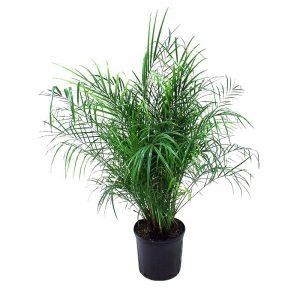 palmier robellini