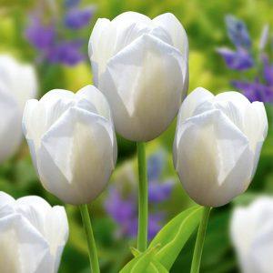 bulbe tulipe catherina