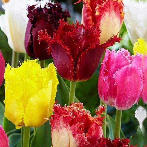 bulbe tulipe fringed mix