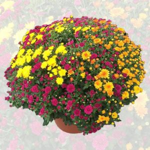 chrysantheme 3 couleurs
