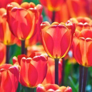 bulbe tulipe el nino