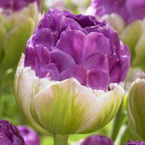bulbe tulipe exquisite