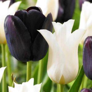 bulbe tulipe queen of light