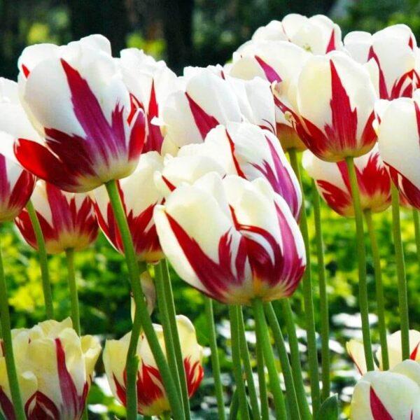 bulbe tulipe world expression