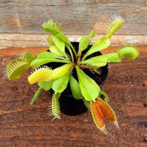 plante carnivore dionea
