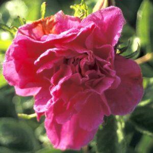 rosier hansa
