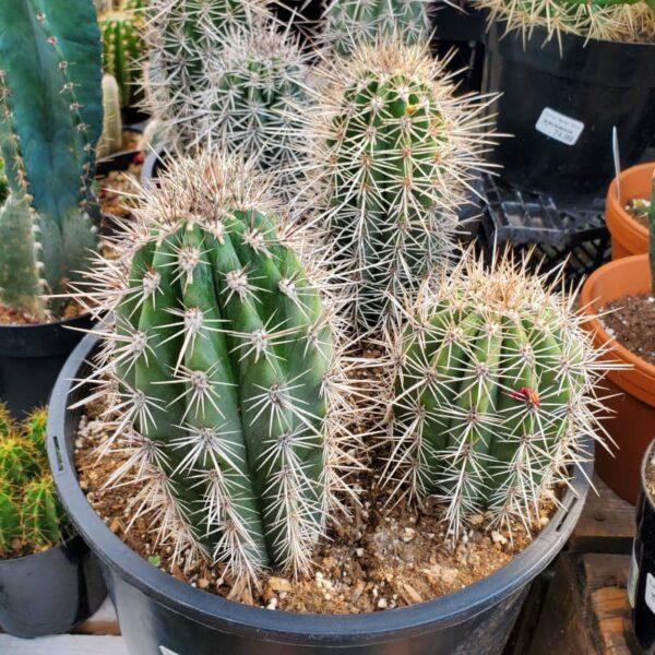 saguaro cardon